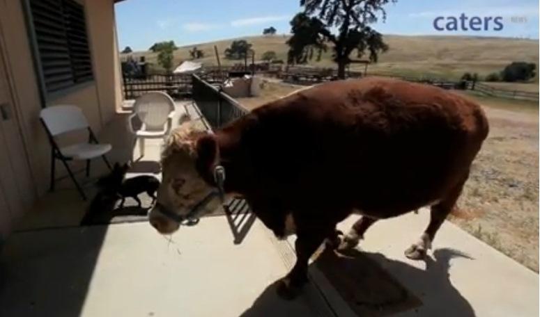 Milkshake - krowa, która myśli, że jest psem